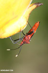 Assassin bug [costa_rica_la_selva_1480]