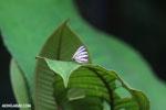 Butterfly [costa_rica_la_selva_1486]