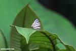 Butterfly [costa_rica_la_selva_1487]