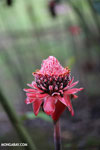 Ginger flower [costa_rica_la_selva_1490]