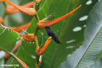 Hummingbirds [costa_rica_la_selva_1508]