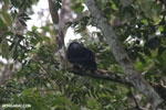 Mantled howler (Alouatta palliata) [costa_rica_la_selva_1531]