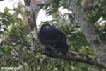 Mantled howler (Alouatta palliata) [costa_rica_la_selva_1532]
