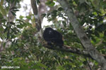 Mantled howler (Alouatta palliata) [costa_rica_la_selva_1533]