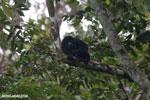 Mantled howler (Alouatta palliata)