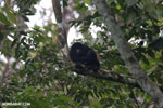 Mantled howler (Alouatta palliata) [costa_rica_la_selva_1538]