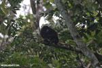 Mantled howler (Alouatta palliata) [costa_rica_la_selva_1539]
