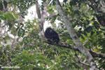 Mantled howler (Alouatta palliata) [costa_rica_la_selva_1545]