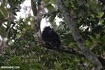 Mantled howler (Alouatta palliata) [costa_rica_la_selva_1548]