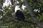 Mantled howler (Alouatta palliata) [costa_rica_la_selva_1550]