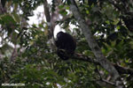 Mantled howler (Alouatta palliata) [costa_rica_la_selva_1552]