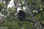 Mantled howler (Alouatta palliata) [costa_rica_la_selva_1554]