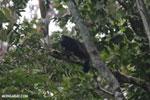 Mantled howler (Alouatta palliata) [costa_rica_la_selva_1559]