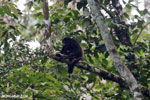 Mantled howler (Alouatta palliata) [costa_rica_la_selva_1563]