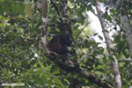 Mantled howler (Alouatta palliata) [costa_rica_la_selva_1571]