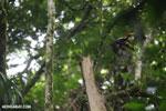 Pale-billed Woodpecker (Campephilus guatemalensis) [costa_rica_la_selva_1592]