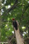 Pale-billed Woodpecker (Campephilus guatemalensis) [costa_rica_la_selva_1593]