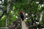 Pale-billed Woodpecker (Campephilus guatemalensis) [costa_rica_la_selva_1598]