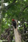 Pale-billed Woodpecker (Campephilus guatemalensis) [costa_rica_la_selva_1599]