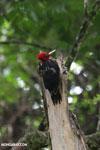 Pale-billed Woodpecker (Campephilus guatemalensis) [costa_rica_la_selva_1600]