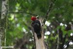 Pale-billed Woodpecker (Campephilus guatemalensis) [costa_rica_la_selva_1601]