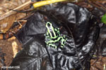 Green-and-black poison dart frog [costa_rica_la_selva_1605]