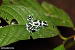 Green-and-black poison dart frog [costa_rica_la_selva_1608]