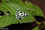 Green-and-black poison dart frog [costa_rica_la_selva_1608]