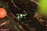 Green-and-black poison dart frog [costa_rica_la_selva_1624]