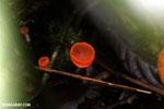 Red cup mushroom [costa_rica_la_selva_1635]