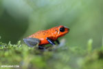 Strawberry poison-dart frog (Oophaga pumilio) [costa_rica_la_selva_1637]