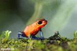 Strawberry poison-dart frog (Oophaga pumilio) [costa_rica_la_selva_1640]