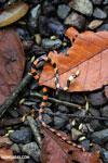 Snake [costa_rica_la_selva_1647]