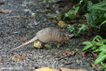 Armadillo (Dasypus novemcinctus) [costa_rica_la_selva_1663]