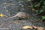 Armadillo (Dasypus novemcinctus) [costa_rica_la_selva_1664]