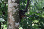 Squirrel [costa_rica_la_selva_1677]