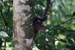 Squirrel [costa_rica_la_selva_1677]