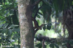 Squirrel [costa_rica_la_selva_1680]