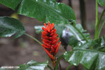 Ginger flower [costa_rica_la_selva_1686]
