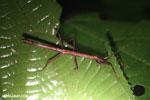Stick insect [costa_rica_la_selva_1696]