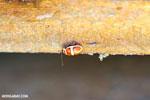Beetle [costa_rica_la_selva_1715]