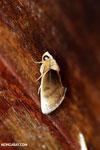 Moth [costa_rica_la_selva_1718]