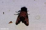 Moth [costa_rica_la_selva_1726]