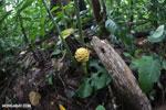 Wild ginger [costa_rica_la_selva_1746]