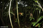 Palm fruits [costa_rica_la_selva_1752]