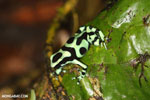 Green-and-black poison dart frog [costa_rica_la_selva_1788]