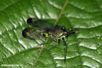 Bug [costa_rica_la_selva_1789]