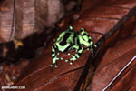 Green-and-black poison dart frog [costa_rica_la_selva_1799]