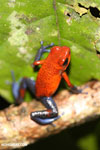 Strawberry poison-dart frog (Oophaga pumilio) [costa_rica_la_selva_1803]
