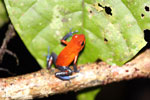 Strawberry poison-dart frog (Oophaga pumilio) [costa_rica_la_selva_1805]